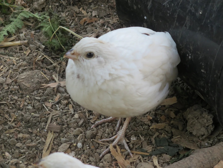 bobwhite quail out of eden