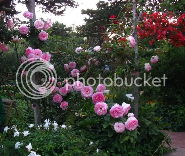 Rose con dedica  Pagina 2  Forum di Giardinaggioit