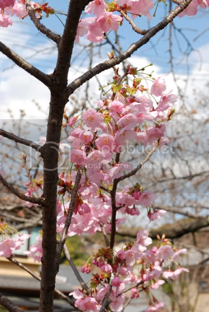 I think these are plum blossoms. The plum blossoms bloom before the cherry blossoms