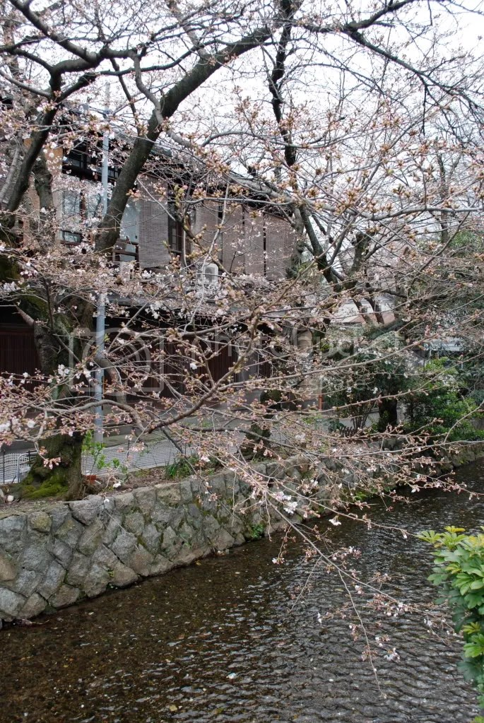 Some more of the Cherry Blossoms, not yet in full bloom
