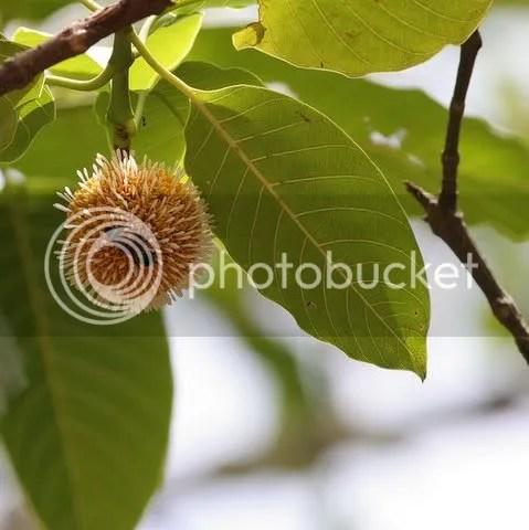 kadamba flower with bee Anthocephalus cadamba and Nauclea cadamba of the Rubiaceae family