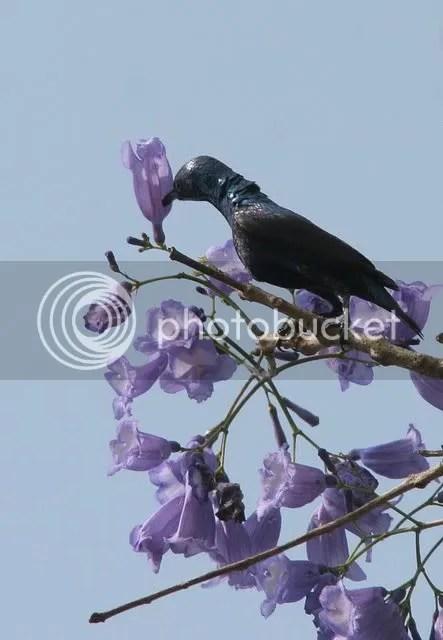 purple sunbird 270309