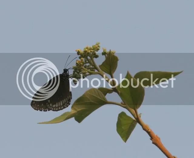 common crow jlrntp 270309