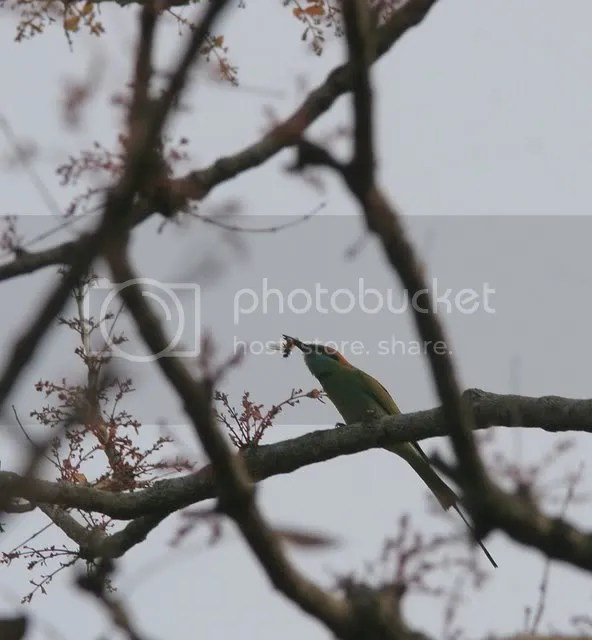 270309 jlrntp bee-eater