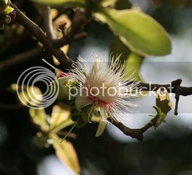 carea arborea flower lalbagh 290309