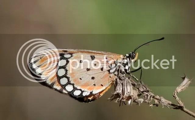 butterfly closeup vs 050409
