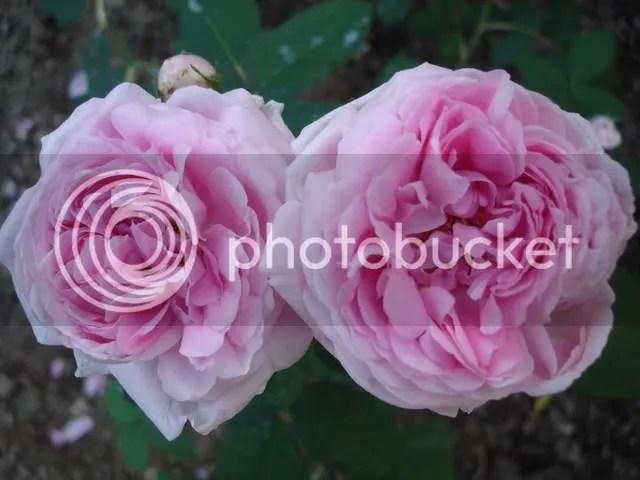 Rose Portland  Forum di Giardinaggioit