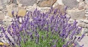 Lavendel Pflanzen Und Pflegen Tipps SAT 1 Ratgeber