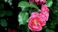 Rosen umpflanzen: Wann und wie? - SAT.1 Ratgeber