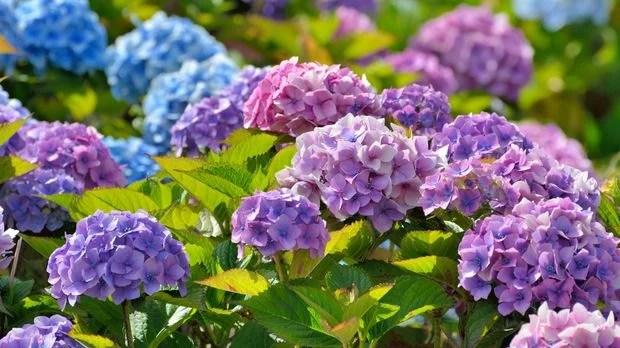 Hortensien pflanzen schneiden vermehren  berwintern  SAT1