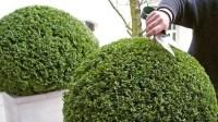 Buchsbaum schneiden - wann und wie? | SAT.1 Ratgeber
