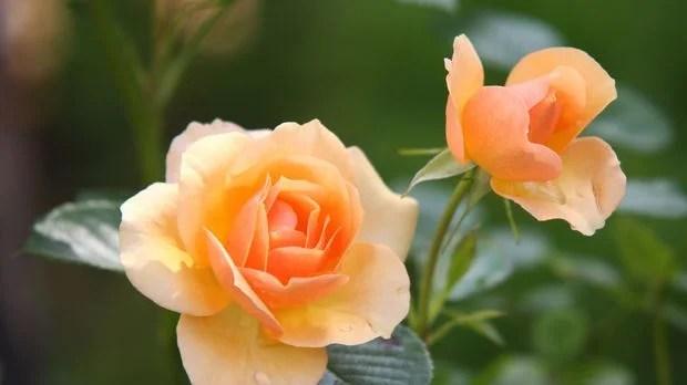 Rosen winterfest machen  SAT1 Ratgeber
