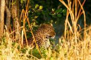 leopardludo2.184837.jpg