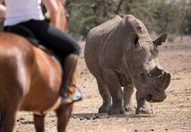 Riding with rhinos on Ol Pejeta Conservancy
