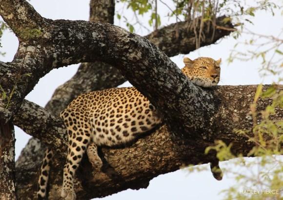 Leopard6OctHadley2.094154.jpg