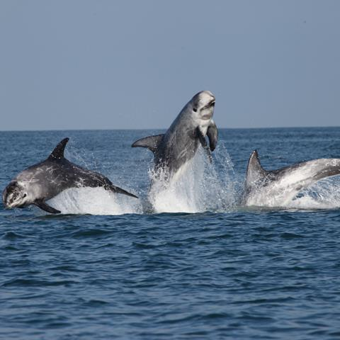 Risso's dolphins wild and free