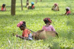 Recolectoras de té en Darjeeling