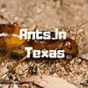 Ants In Texas