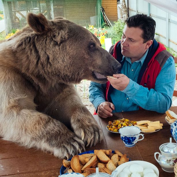 Stepan the bear enjoying his dinner