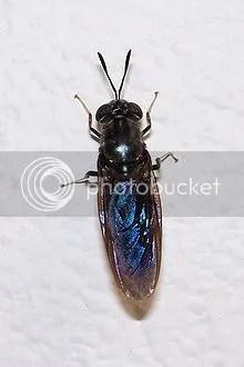 hermetia illucens (mosca soldado)