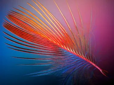 Feather of a Dominican Cardinal by Ian C. Walker