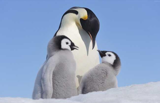 企鵝是哺乳動物嗎? - 壹讀