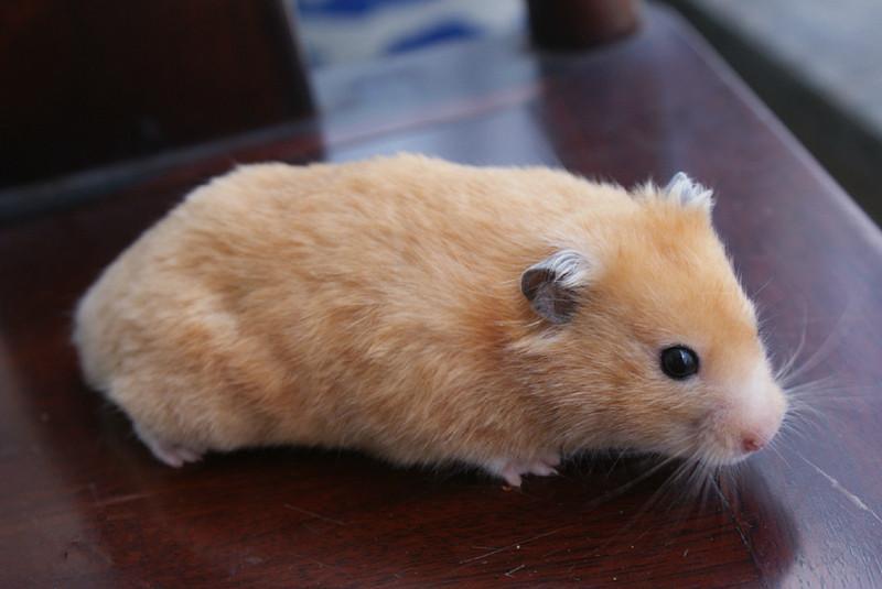 全球最美的10種倉鼠 - 壹讀
