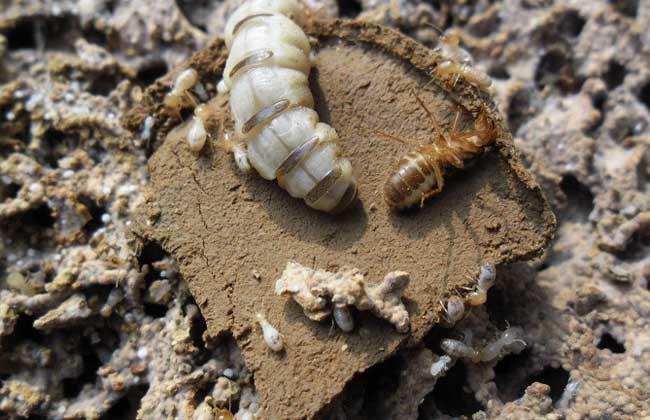 白蟻蟻后是怎麼產生的 - 壹讀