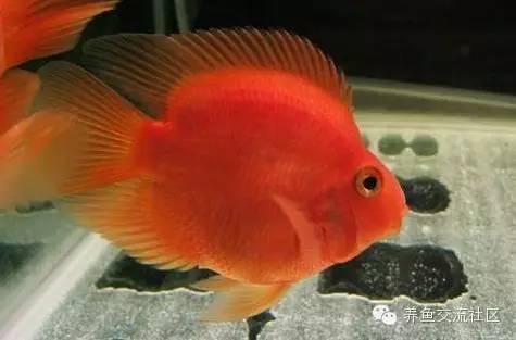 鸚鵡魚(圖鑑) - 壹讀