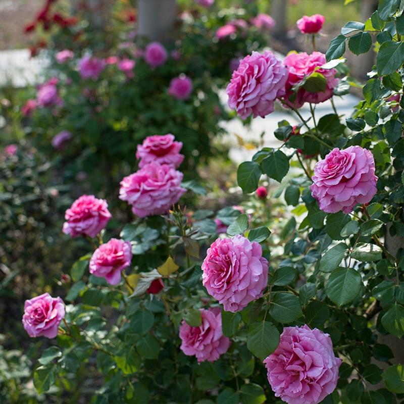 這個秋天養這種花。明年春天等著看花牆吧 - 壹讀