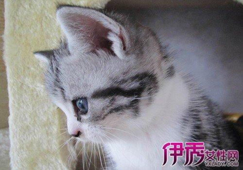 日本短尾貓怎麼養? 6個方面教你如何正確飼養愛貓 - 壹讀