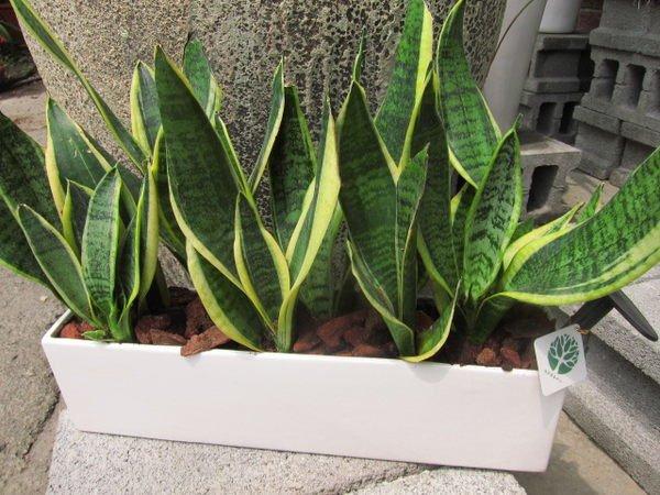 虎尾蘭的養殖方法有哪些 虎尾蘭風水禁忌 - 壹讀