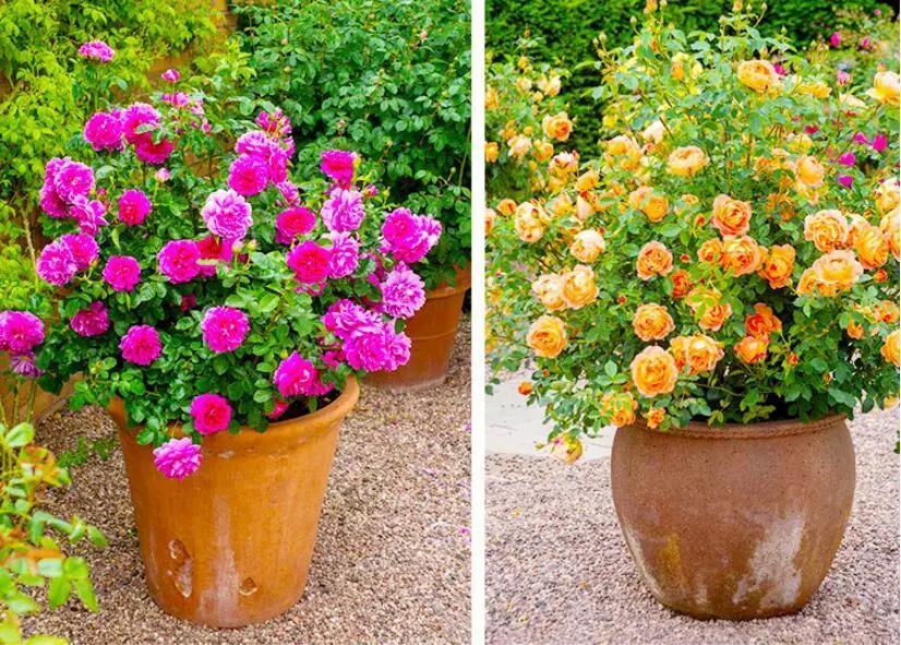 花型美麗。適合庭院花園的9種灌木月季! - 壹讀