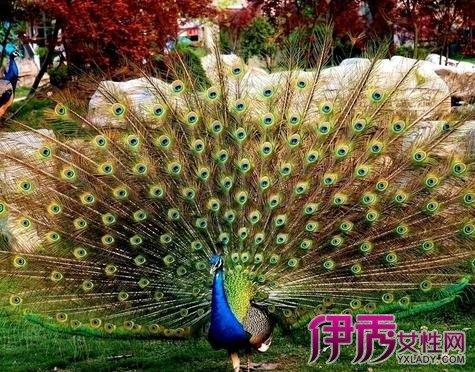 最優雅的孔雀 帶你了解孔雀種類 - 壹讀