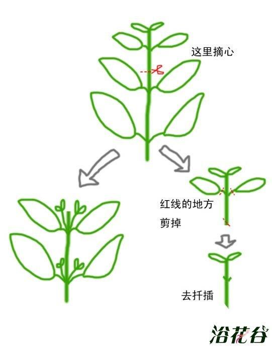 植物摘心圖解 - 壹讀