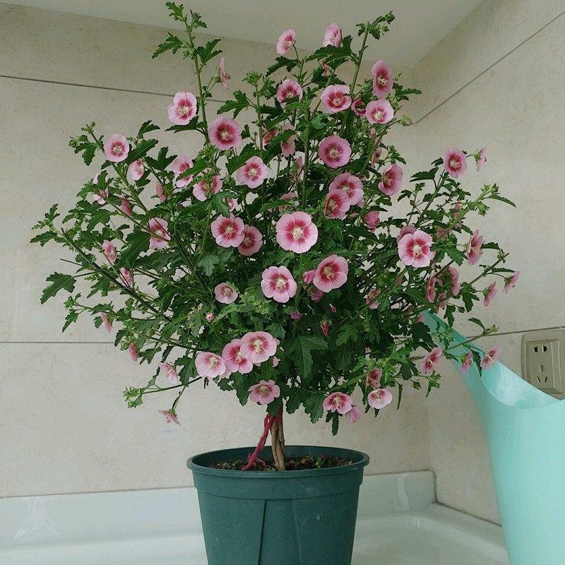 花期最長的盆栽植物,全年花開滿枝頭,漂亮又好養,很值得擁有 - 壹讀