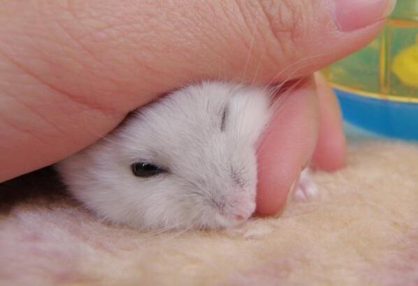 銀狐倉鼠吃什麼食物 銀狐倉鼠的飼養知識 - 壹讀