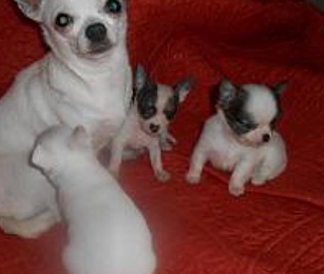 Chihuahuasrwee Mansfield Tx