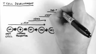 T-Cell Development