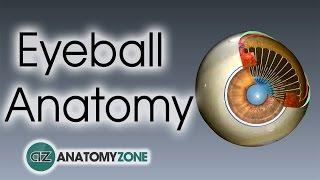 Eyeball Anatomy