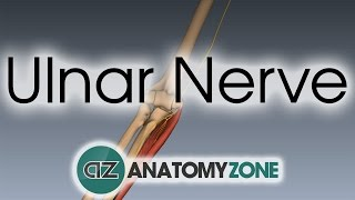 Ulnar Nerve - 3D Anatomy Tutorial