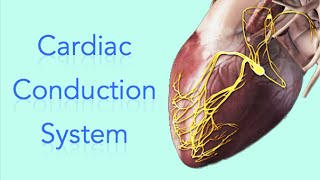 Cardiac Conduction System - Electrical System of the Heart - Animation