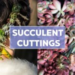 Planting Succulent Cuttings A Visual Guide Mountain Crest Gardens