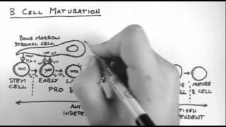 B-Cells Maturation