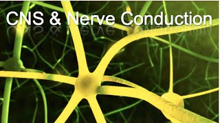 CNS and Nerve Conduction - Animation