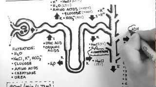 Renal Physiology - Nephron Function