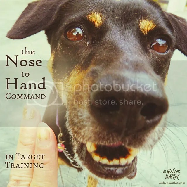 dog does not respond correctly to Touch or Hand to Nose targeting training command