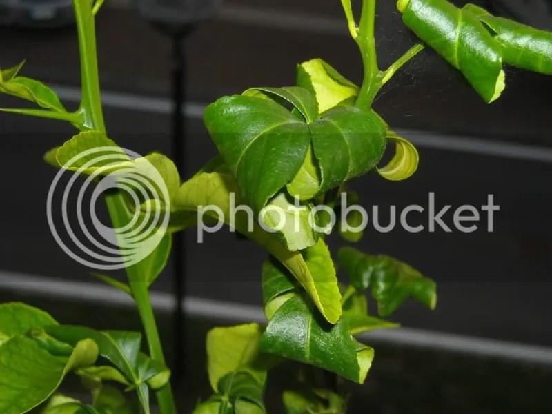 Arancio e chinotto che perde foglie  Forum di Giardinaggioit