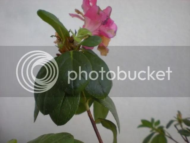 Cosha la mia azalea  Forum di Giardinaggioit