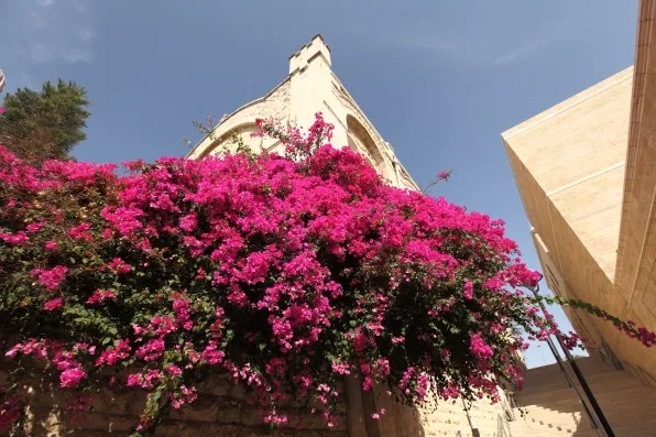 Bougainvillaea flowers in Jerusalem